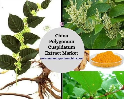 China Polygonum Cuspidatum Extract Market 1.jpg